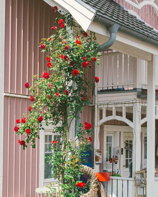 In 3 Jahren haben die Rosen es echt geschafft, das Dach zu erreichen
